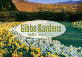 lots of blooming daffodils at Gibbs Gardens in Georgia