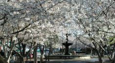 Macon, Ga. Cherry Blossom Trees in bloom downtown